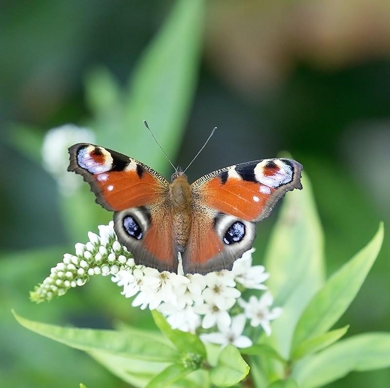 sommerfugl paafugleoeje