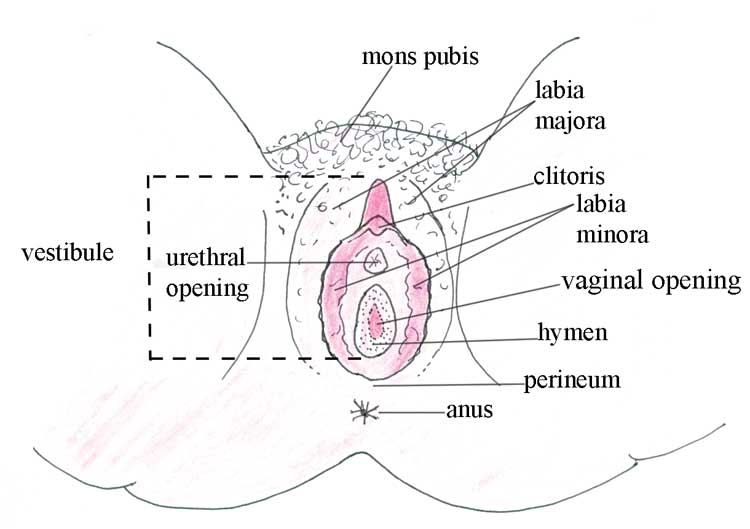 The external female genitalia (or vulva)