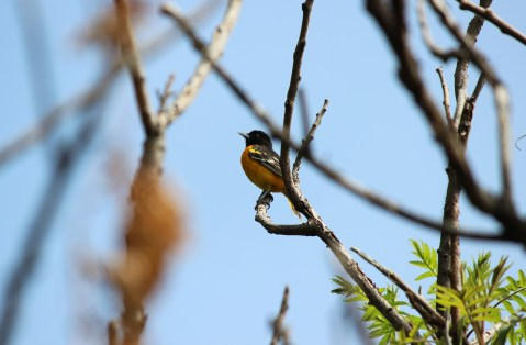 A Baltimore oriole