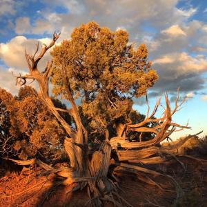 Juniper Tree Open Sky