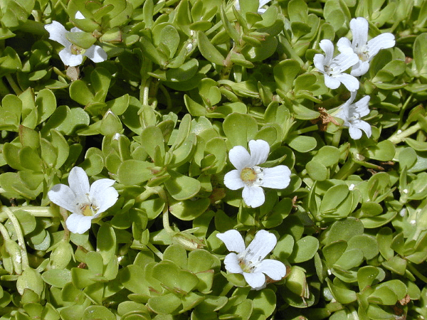 bacopa monnieri flowers and leaves - mind lab pro ingredient