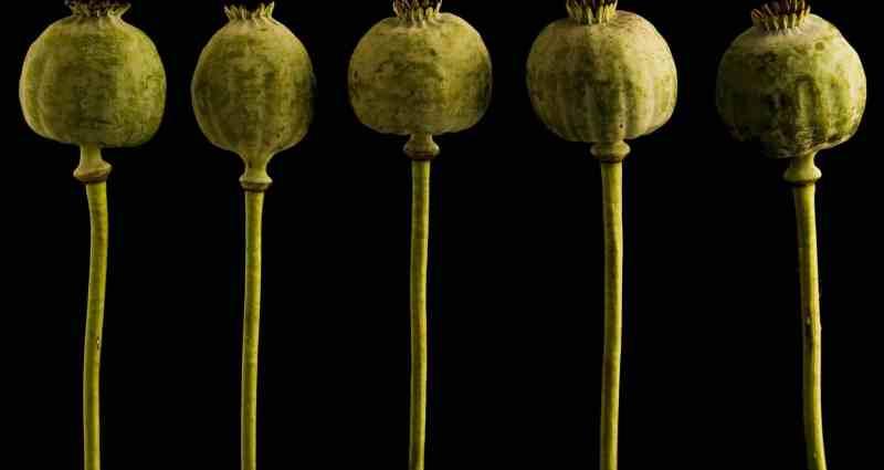 heroin plant