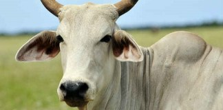 Muslim men give death threats to neighbour after stealing and slaughtering his cow