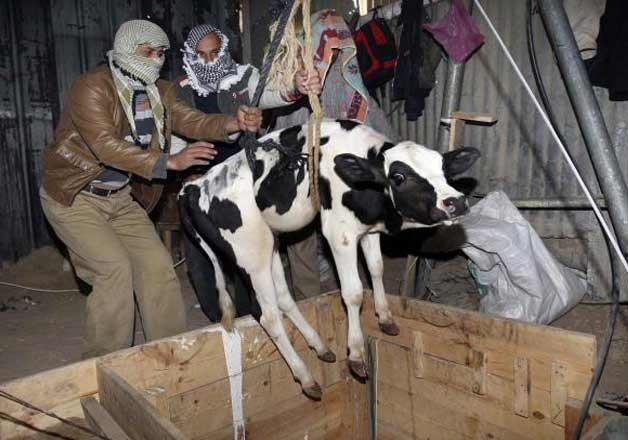Alwar remains the hotbed of cattle smuggling rackets