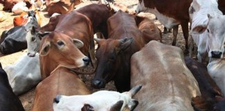Cow smugglers in Rajasthan shoot at cops, break barricades to try and flee with the bovines