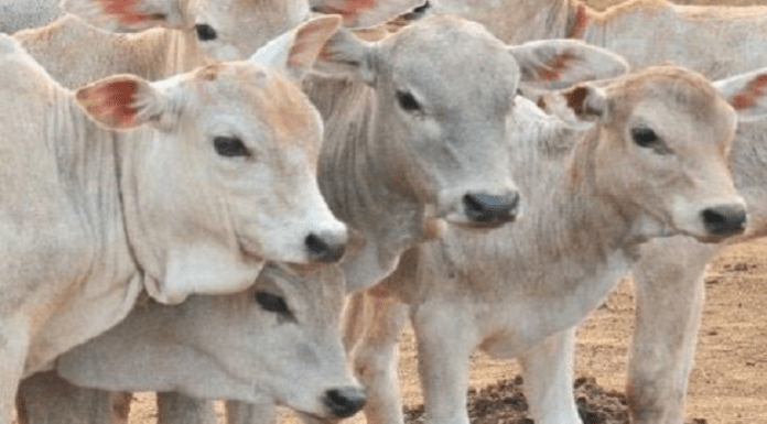 United Muslim Forum in Telangana asks members not to kill cows on Bakr Eid