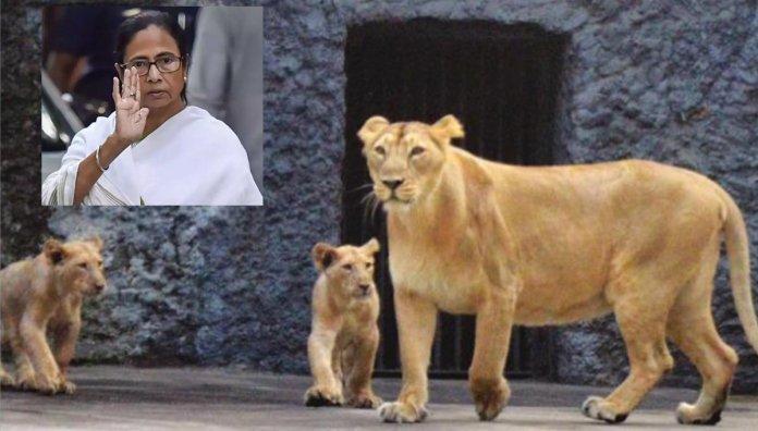 Mamata lion cub
