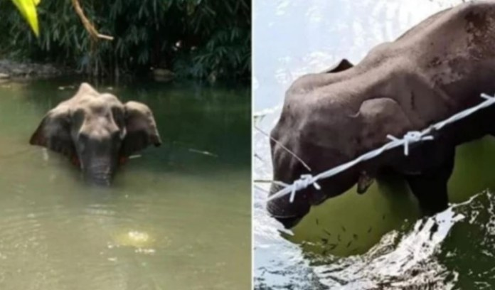 Kerala Another Elephant Had Died Of Injuries In Her Mouth In