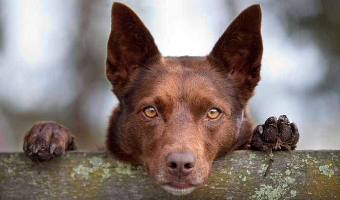 Australia: Dogs shot dead to prevent volunteers from traveling to rescue them during Covid restrictions