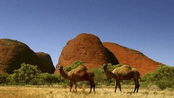 Franco-atiradores-vão-matar-cerca-de-10-mil-dromedários-que-buscam-água-na-Austrália