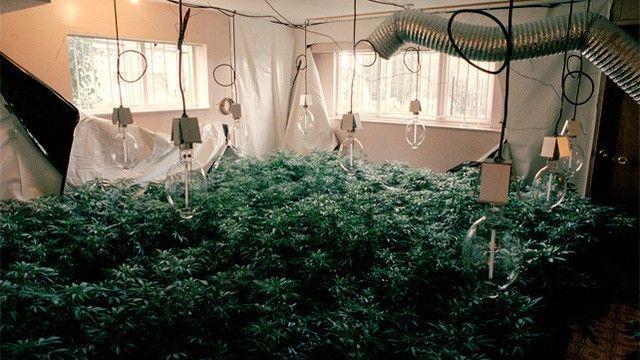 Culture de weed