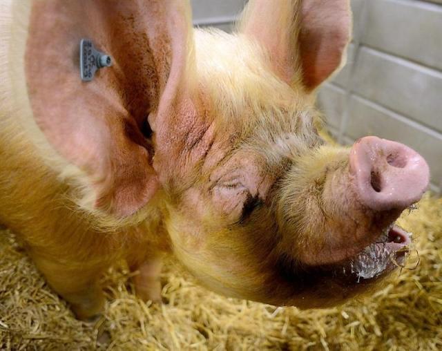 cochons salon d'agriculture