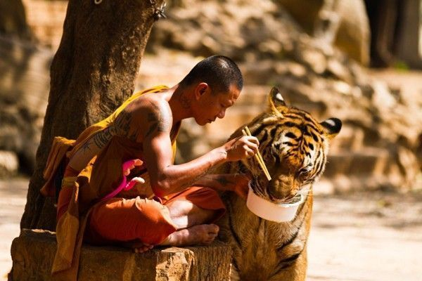 human-tiger