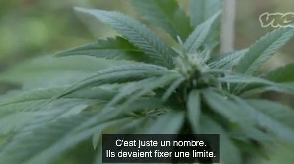uruguay-cannabis