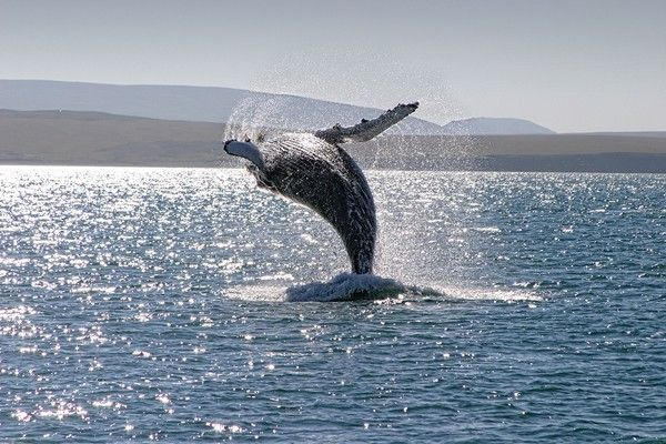 Humpback whale breaching, Husavik, Iceland. Image shot 2009. Exact date unknown.
