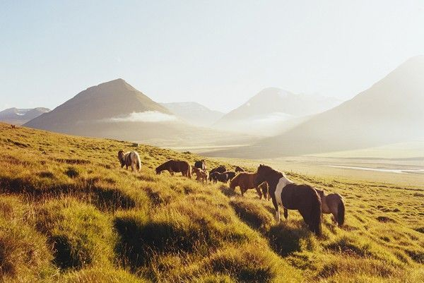 Icelandic Horses in Oxnadalur Valley