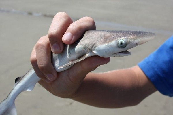 requin animaux