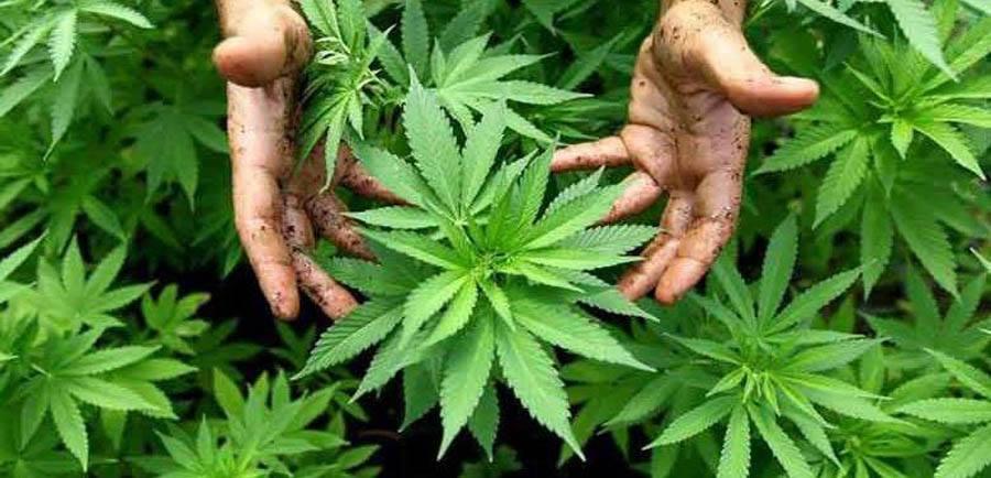 cannabis_crs