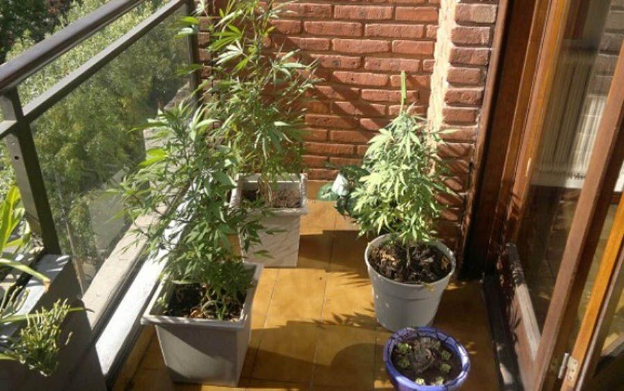 graines de weed