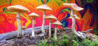 Les champignons ne sont pas hallucinogènes pour que les humains les consomment