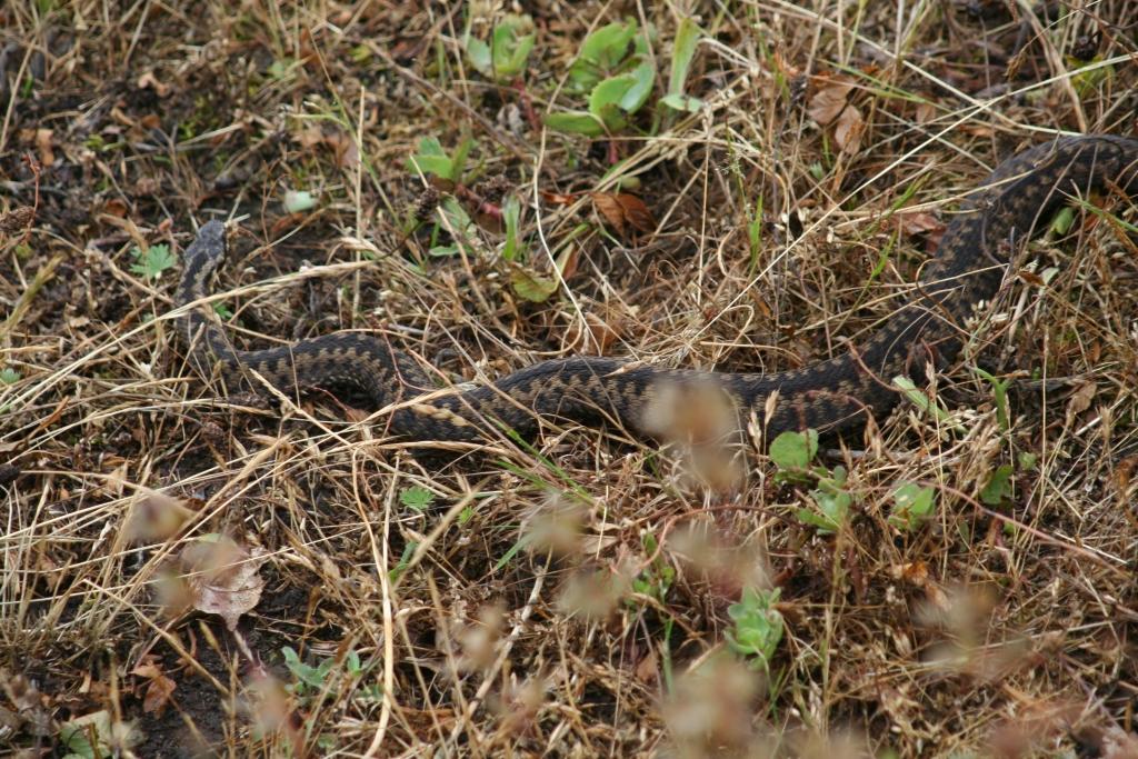 Snake Stenshuvud
