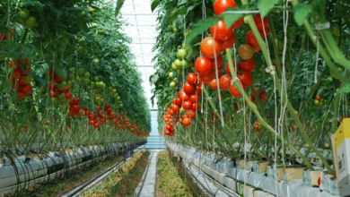 Photo of Lidera México exportaciones mundiales de tomate