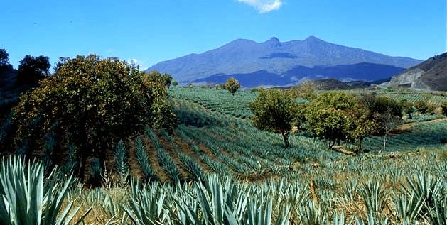 Foto: Travessiaviajes. En México hay una superficie sembrada de alrededor de 300 millones de piñas de agave.
