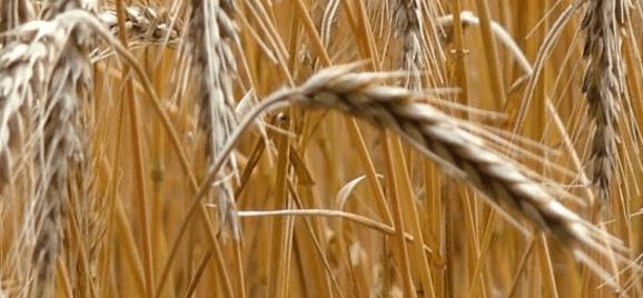 Para el trigo panificable, el anuncio de un precio de garantía ha significado un aumento en su producción.