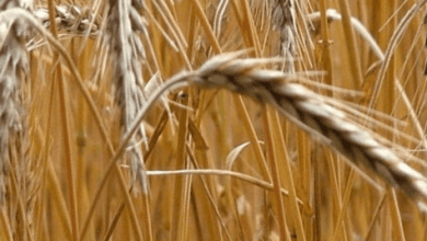 Photo of Precios de garantía beneficiarían a 30,000 productores de trigo en México