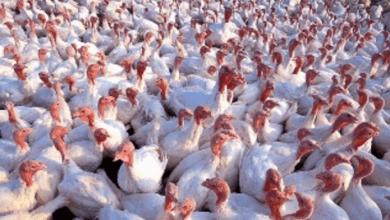 Photo of México acota restricciones a las importaciones de pollo de EE.UU. por brote aviar