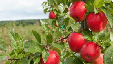 Photo of Estados Unidos triplica exportaciones de manzanas a México con el TLCAN