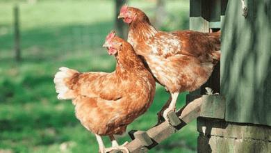 Photo of Las importaciones de pollo tienen el arancel más alto en México