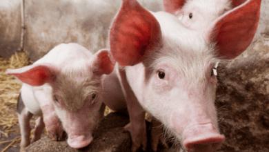 Photo of Rusia dice que cumple con la OMC en caso de carne de cerdo contra la Unión Europea