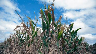 Photo of México rompe récord en importaciones de maíz originario de Estados Unidos