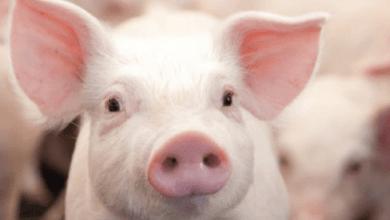 Photo of México abre cupo para importaciones de carne de cerdo en enero