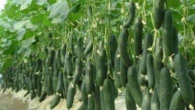 Photo of Crecen exportaciones mexicanas de pepino cuatro años