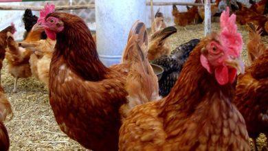 Photo of Bachoco produce 35% del pollo en México