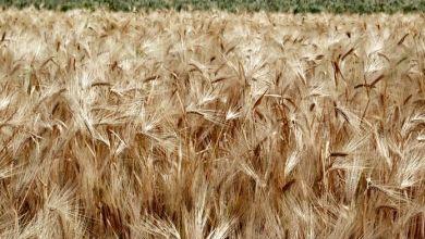 Photo of Las exportaciones de trigo de México sumarían 760,000 toneladas