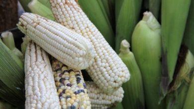 Photo of Argentina y Brasil ganan liderazgo frente a México en maíz