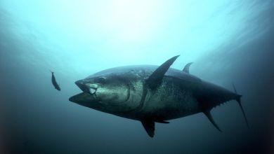 México exportó atún aleta azul por un valor de 123 millones de dólares en 2018.