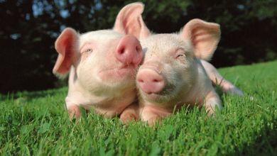 Photo of México aumentará su producción de carne de cerdo: USDA