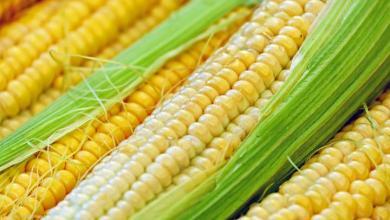 Photo of Los principales países que exportan maíz en el mundo