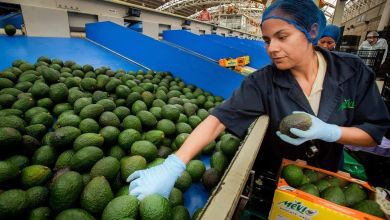 Photo of Exportaciones mexicanas de aguacate a Japón baten récord