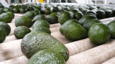 The United States, Canada and Japan led the destinations of Mexican avocado exports in 2019, according to data from the Ministry of Economy.