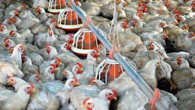 Photo of Exportaciones de carne de pollo de Brasil crecen 5.1%
