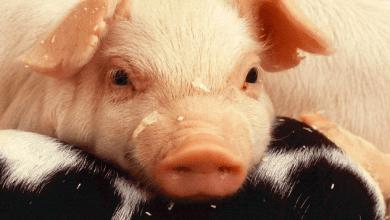 Kekén, una subsidiaria de Grupo KUO, es el mayor productor y distribuidor de carne de cerdo en México y ha logrado tener una proporción de ventas de exportación muy relevante, principalmente a Japón, Corea del Sur, Estados Unidos y recientemente a China.