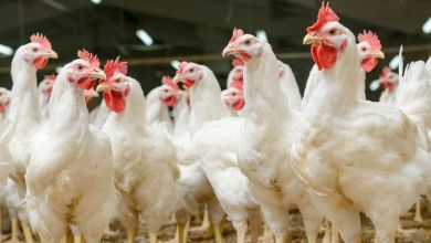 Mexico's chicken imports from the United States were 459,000 tons in 2019, according to the Bachoco company.
