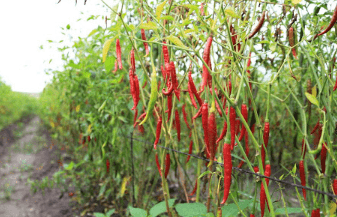 Yahualica chili is one of the main agricultural crops of the Altos of the State of Jalisco, whose production makes it a traditional product with which the region is identified throughout the world.