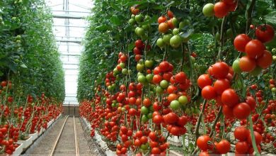 Tomato exports from Mexico to the United States will increase 2% in the 2020-2021 season compared to the previous cycle, estimated the Department of Agriculture (USDA).