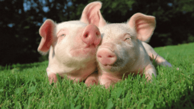 Photo of Pork meat exports will grow 47.5% in 2020